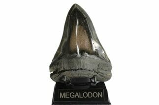 Carcharocles megalodon - Fossils For Sale - #171477