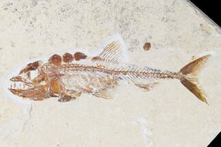 "4.7"" Cretaceous Predatory Fish (Eurypholis) - Fish In Stomach! For Sale, #173369"