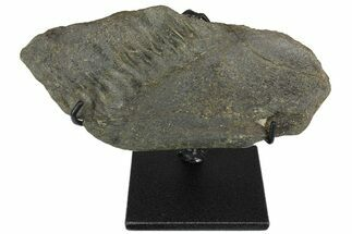 "6.7"" Fossil Hadrosaur (Maiasaura?) Jaw Section - Montana  For Sale, #173489"