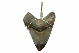 "Buy 1.82"" Fossil Megalodon Tooth Necklace - #173863"