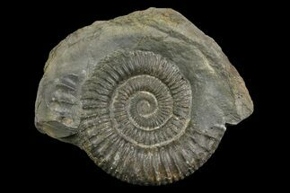 "2"" Ammonite (Dactylioceras) Fossil - England For Sale, #174299"
