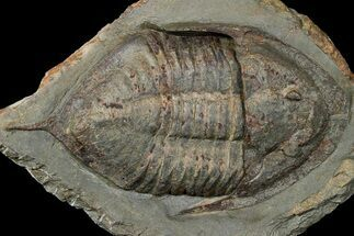 Megistaspis (Ekeraspis) hammondi - Fossils For Sale - #174858