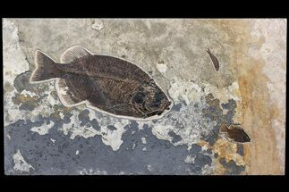 "Buy 43"" Fossil Fish ""Mural"" With Giant Phareodus - Kemmerer, Wyoming - #174913"