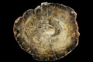 "15.2"" Triassic Petrified Wood (Araucaria) Round - Utah For Sale, #174938"