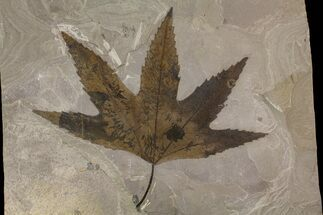 "7"" Top Quality, Fossil Sycamore Leaf - Utah For Sale, #174926"