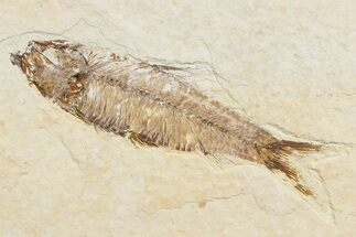 "3.6"" Detailed Fossil Fish (Knightia) - Wyoming For Sale, #174644"