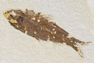 "Buy 3.3"" Detailed Fossil Fish (Knightia) - Wyoming - #174646"