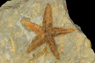 "Buy 1.55"" Ordovician Starfish (Petraster?) Fossil - Morocco - #175285"