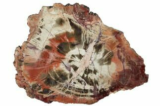"6.3"" Polished Petrified Wood (Araucaria) Round - Arizona For Sale, #175268"