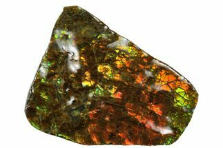 "2.15"" Iridescent Ammolite (Fossil Ammonite Shell) - Alberta, Canada For Sale, #175190"
