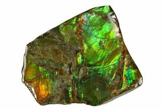 "2"" Iridescent Ammolite (Fossil Ammonite Shell) - Alberta, Canada For Sale, #175196"