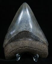 Collector Quality Florida Megalodon Tooth - 4.45 Inches For Sale, #1940