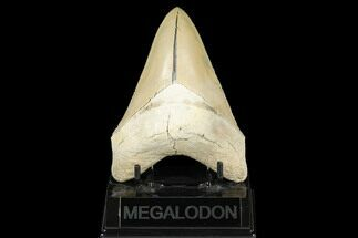 "Serrated, 4.75"" Fossil Megalodon Tooth - Aurora, North Carolina For Sale, #176570"