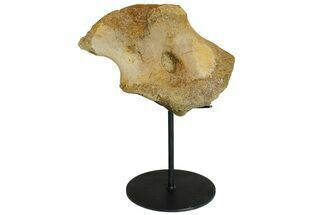 Edmontosaurus annectens - Fossils For Sale - #176376