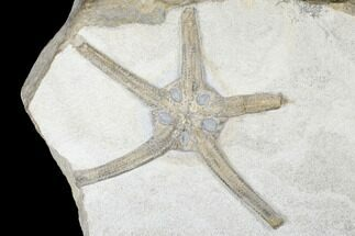 "6.4"" Wide, Jurassic Brittle Star (Palaeocoma) Fossil - Whitby, England For Sale, #177065"