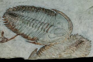"Buy 5.75"" Gigantopygus Trilobite With Partial - Issafen, Morocco - #177334"