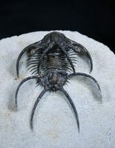 Buy Alien Looking Ceratarges Trilobite - #1993