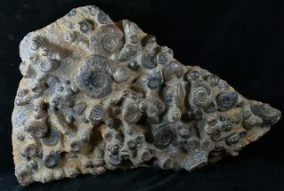 "Buy 24"" Wide Ammonite Plate - Over 60 Ammonites - #14317"