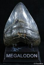 Fat 5.13 Inch Beaufort, SC Megalodon Tooth, Item #2579