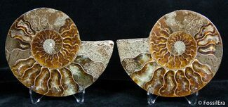 Cleoniceras - Fossils For Sale - #2637