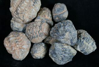 Bulk Phacops Trilobite Fossils - 3 Pack For Sale, #16538