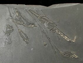 "2.2"" Pyritized Crinoid Assemblage From Hunsrück Slate For Sale, #17540"