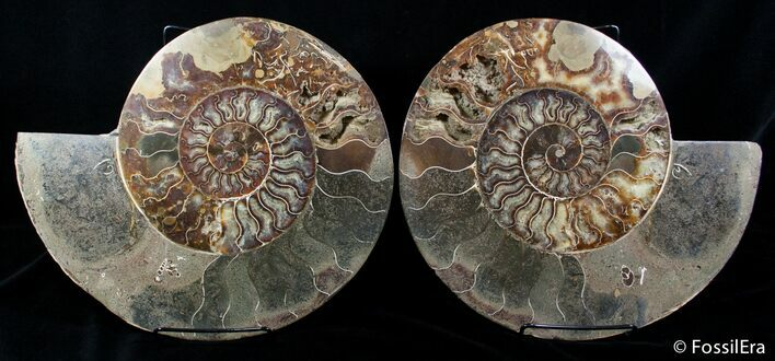Massive 12 Inch Wide Ammonite With Stands