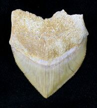 Large Squalicorax (Crow Shark) Fossil Tooth For Sale, #19271