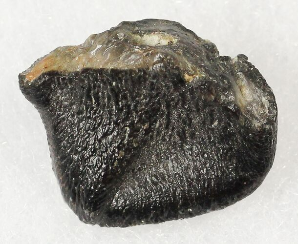 ".67"" Camarasaurus Tooth Crown - Skull Creek Quarry"