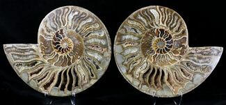 "9.6"" Choffaticeras (""Daisy Flower"") Ammonite For Sale, #21632"