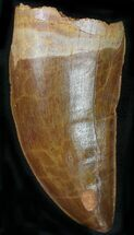 "Buy 2.73"" Carcharodontosaurus Tooth - Stunning Preservation - #22027"