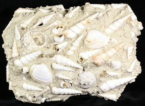 "13"" Wide Fossil Turritella (Gastropod) Cluster - France For Sale, #22043"