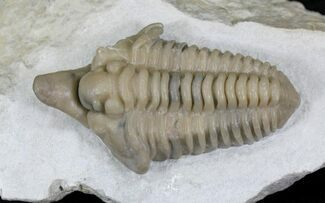 "Large 2.83"" Snout Nosed Spathacalymene Trilobite - Rare! For Sale, #22499"