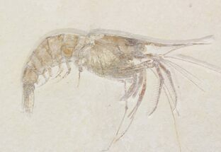 Large Fossil Shrimp (Aeger) - Solnhofen Limestone For Sale, #22502