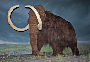Alaska State Fossil - Woolly Mammoth