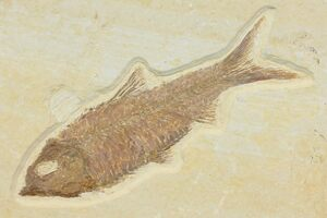 Wyoming State Fossil - Fossil Fish (Knightia)