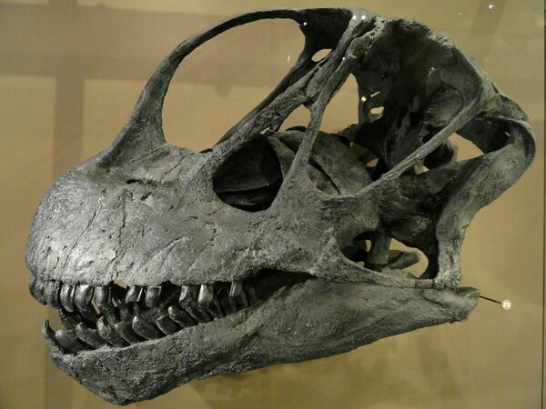 A Camarasaurus skull cast showing how the teeth looked.
