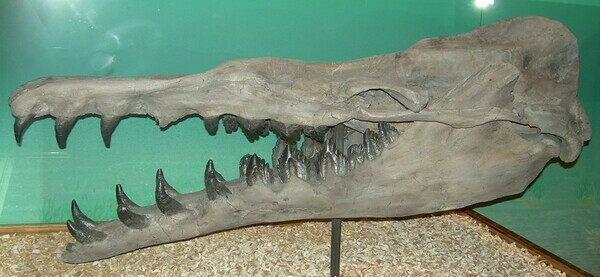 A cast of a Basilosaurus jaw showing the varying tooth shapes in the jaw.