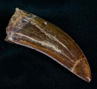 The highly serrated, steak knife like teeth of Carcharodontosaurus are designed for slice flesh.