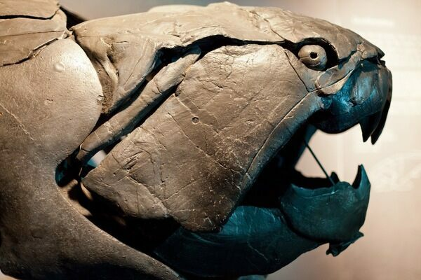 Dunkleosteus is an extinct placoderm fish that lived during the Late Devonian period and could grow up to 20 feet in length.