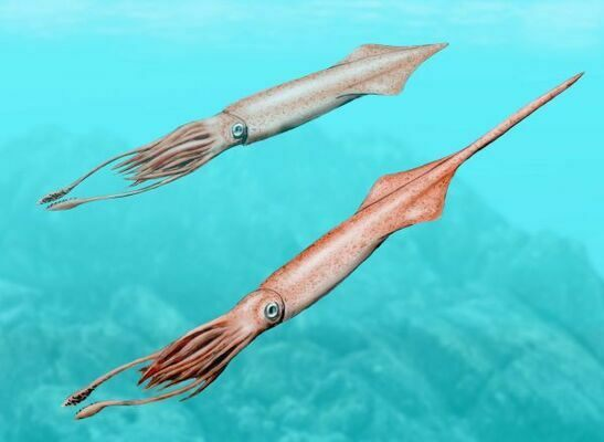 Artists reconstruction of a belemnite (Youngibelus).  Image by NobuTamura, Creative Commons License