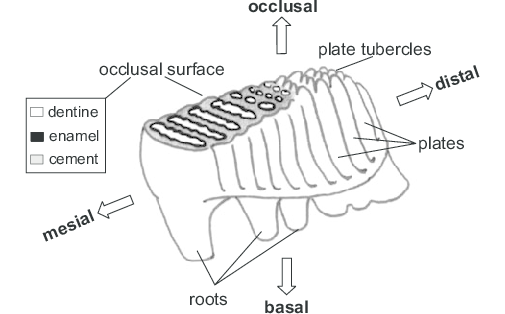 Diagram of a mammoth molar, from Structure and evolution of mammoth molar enamel by Marco P. Ferretti