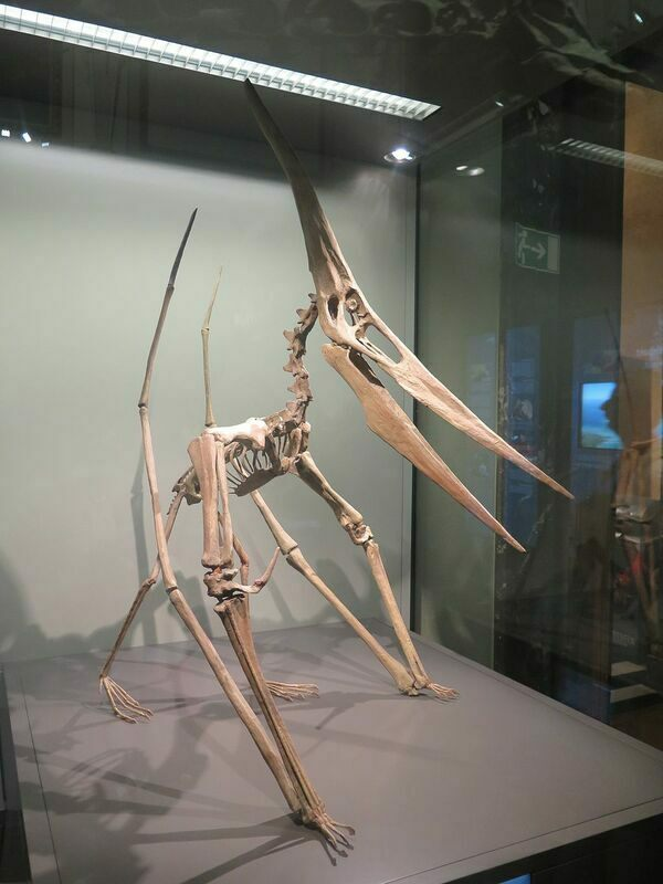 A reconstructed Pteranodon skeleton.