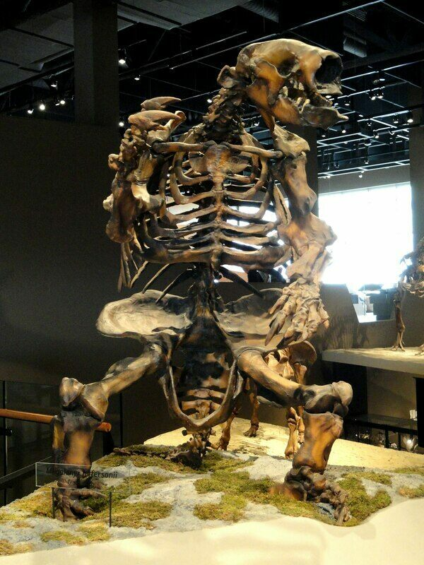 A mounted skeloton of Megalonyx at the Natural History Museum of Utah.  Creative Commons License