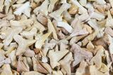 "3/4 to 1"" Fossil Shark (Serratolamna) Teeth - 10 Pack - Photo 3"
