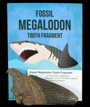 Real Fossil Megalodon Partial Tooth - 3-4""