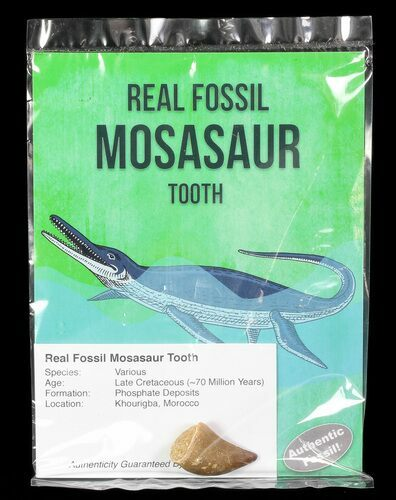 Real Fossil Mosasaur Tooth (Packaged) - Photo 1