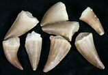 Real Fossil Mosasaur Tooth (Packaged) - Photo 4