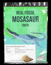 "Wholesale: 1"" Fossil Mosasaur Tooth (Packaged) - 10 Pieces"