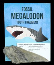 "Wholesale: Fossil Megalodon Partial Tooth (4+"" Size) - 10 Pieces"